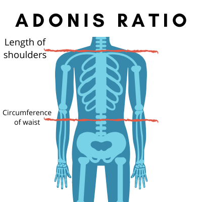 Adonis Golden Ratio Review – Build Mass and Lose Weight